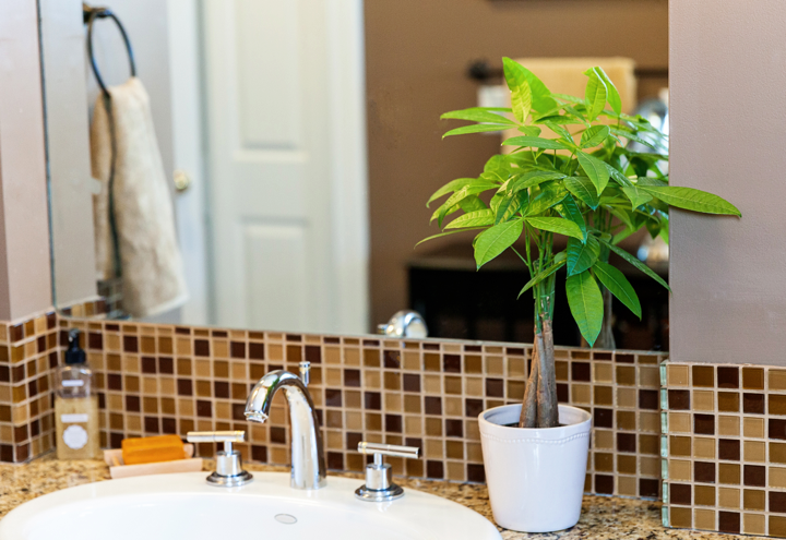 Money Plant In Bathroom. 5 Fascinating Facts About The Money Tree Plant