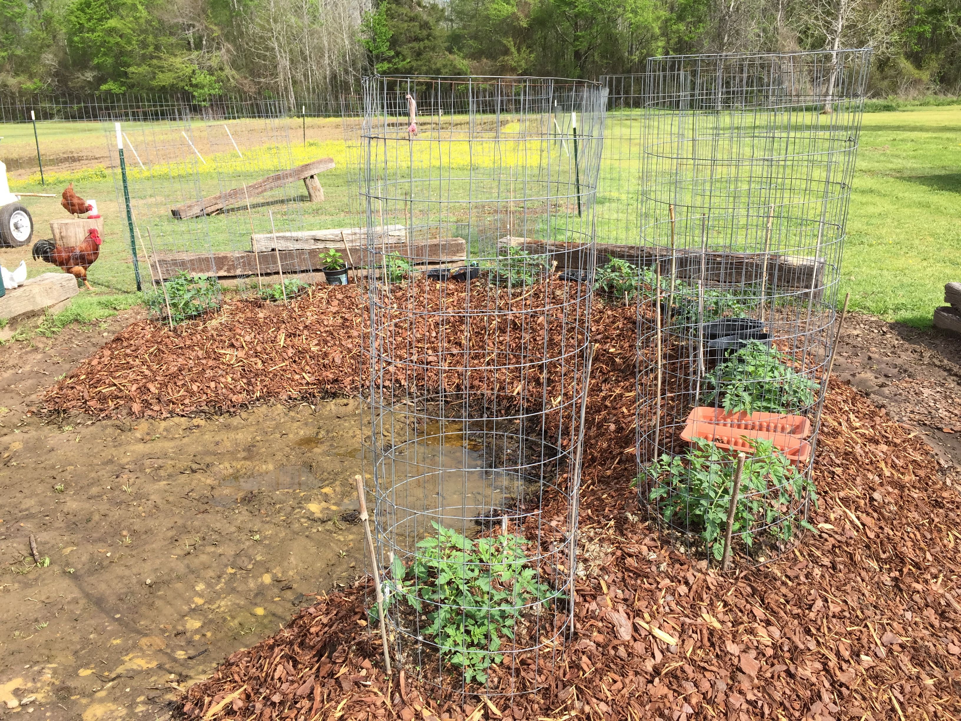 2017 Tomatoes Set Up In Wire With Bamboo Stakes For High 400 x 300