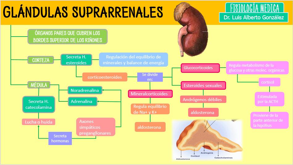 hormonas principales de la glandula suprarrenal