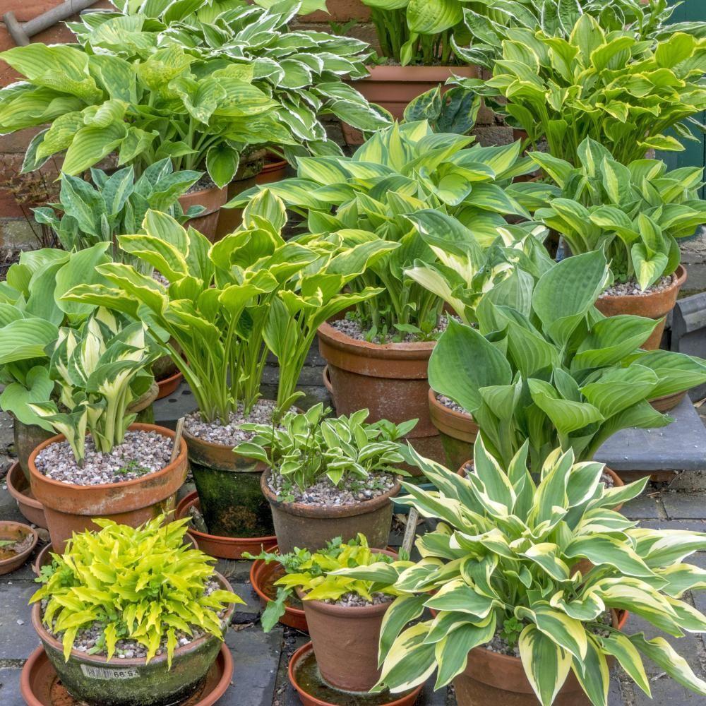 Funkien Die Besten Sorten Fur Den Topf Hosta Pflanzen Schattenpflanzen Pflanzen