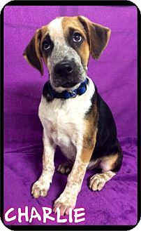 Maumelle Ar Bluetick Coonhound Shepherd Unknown Type Mix