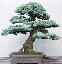 Colorado Blue Spruce Bonsai Tree Picea Pungens Glauca - Black hills spruce bonsai trees