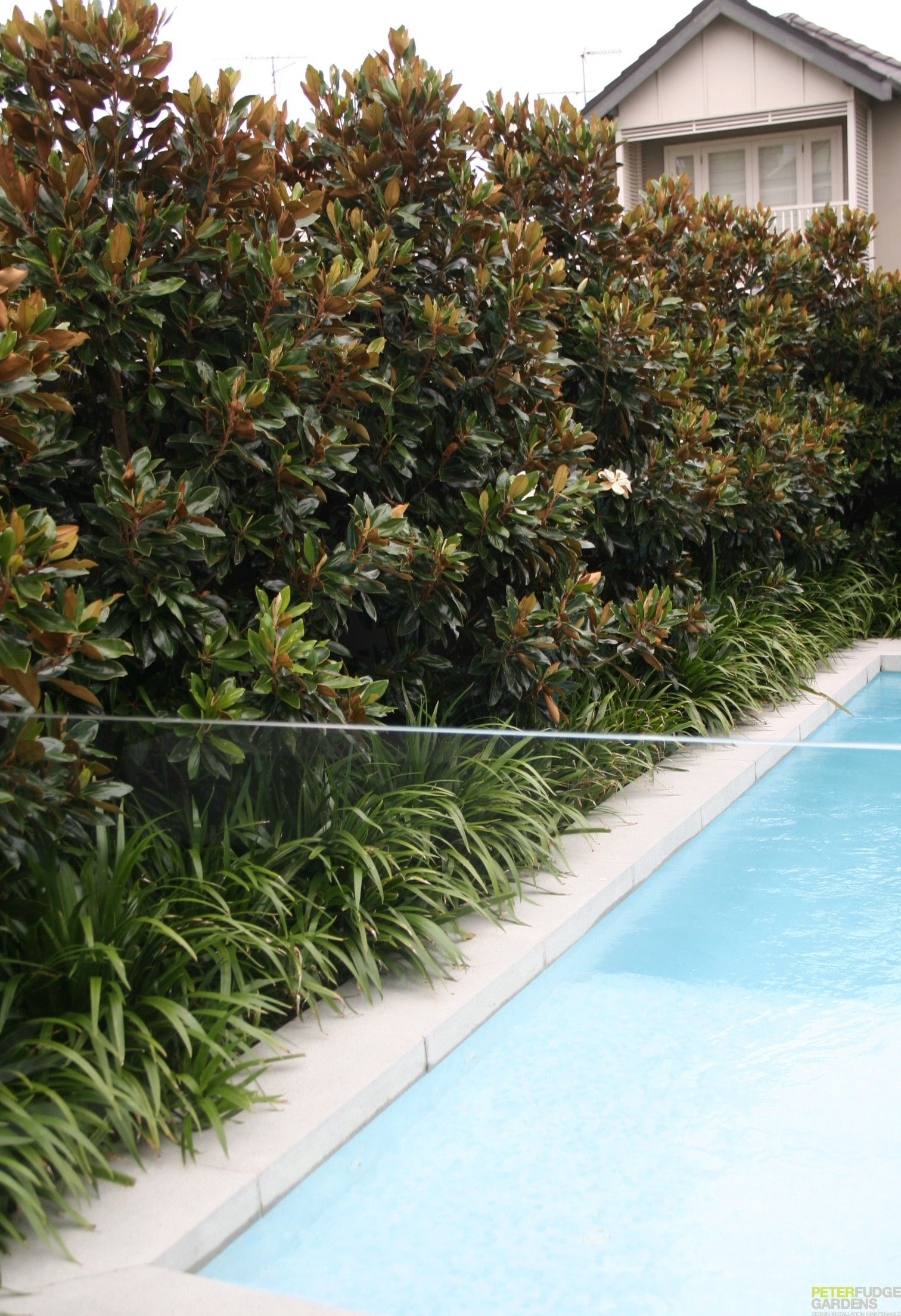 Evergreen Magnolia Hedge Click For Info On How To Care