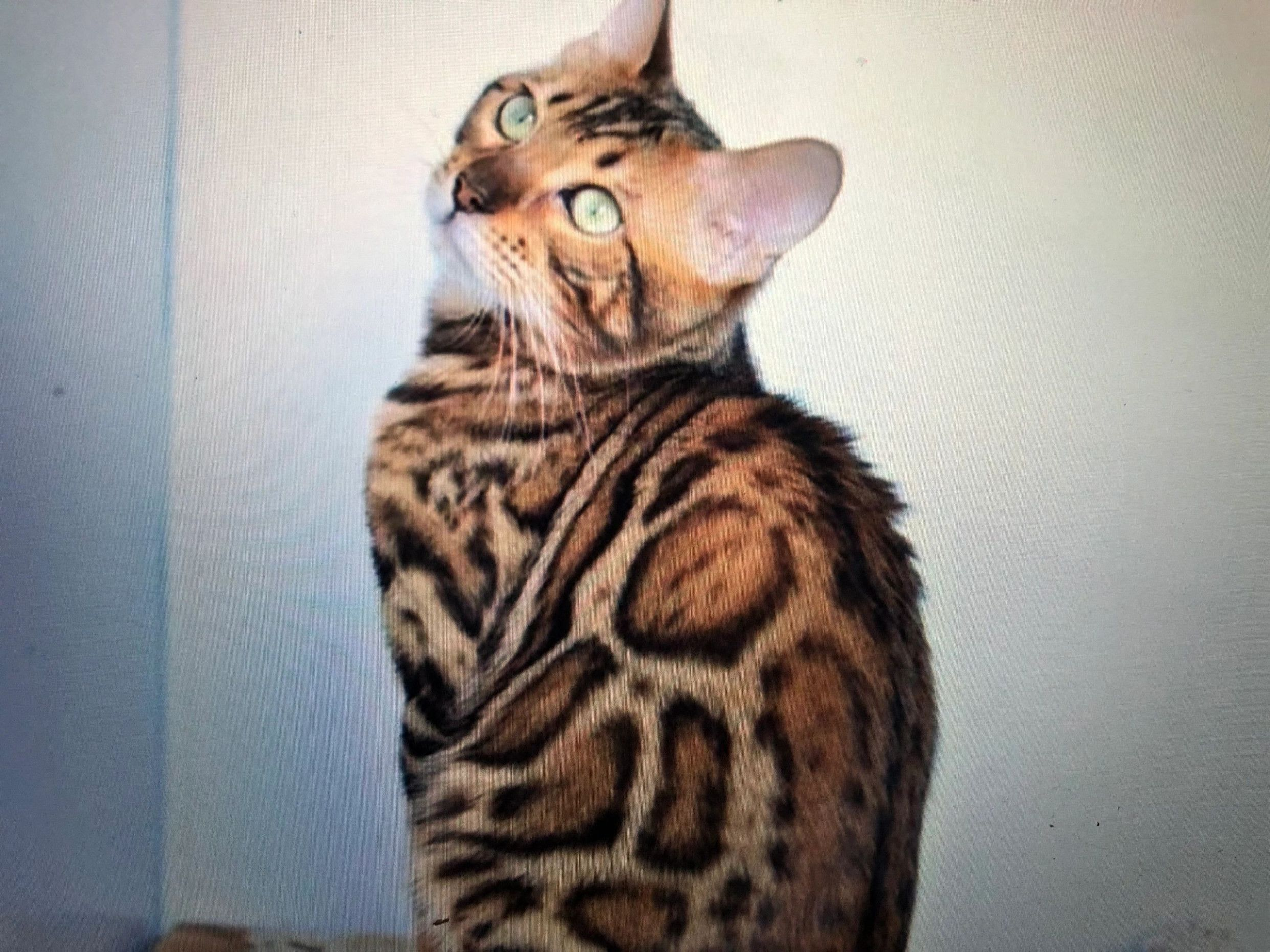 8 Best Bengal Cat Price Usa Pictures In 2020 Bengal Cat Price Bengal Cat Bengal Cat For Sale