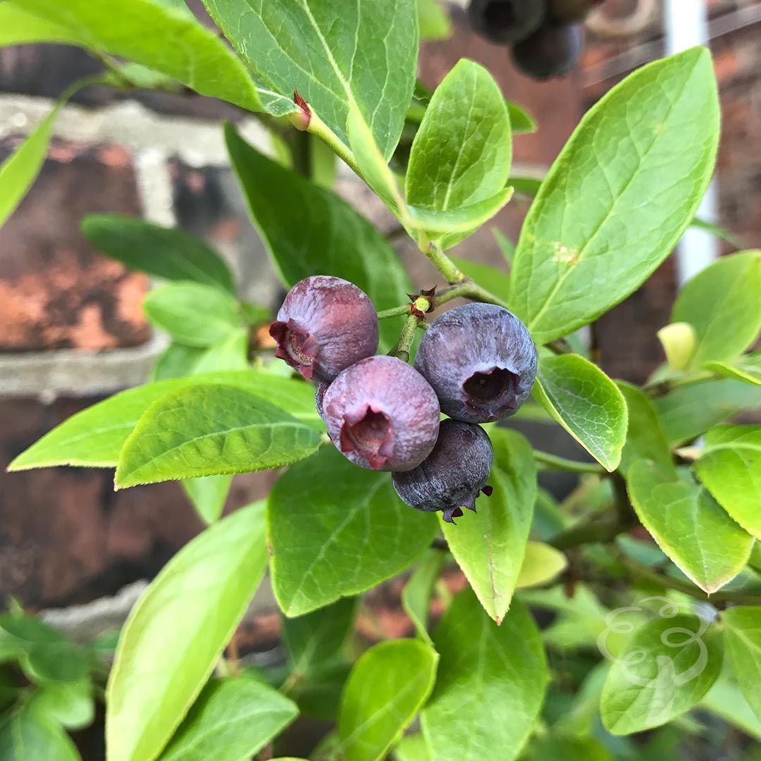 Blueberry plant gift blueberry plant plant gifts plants