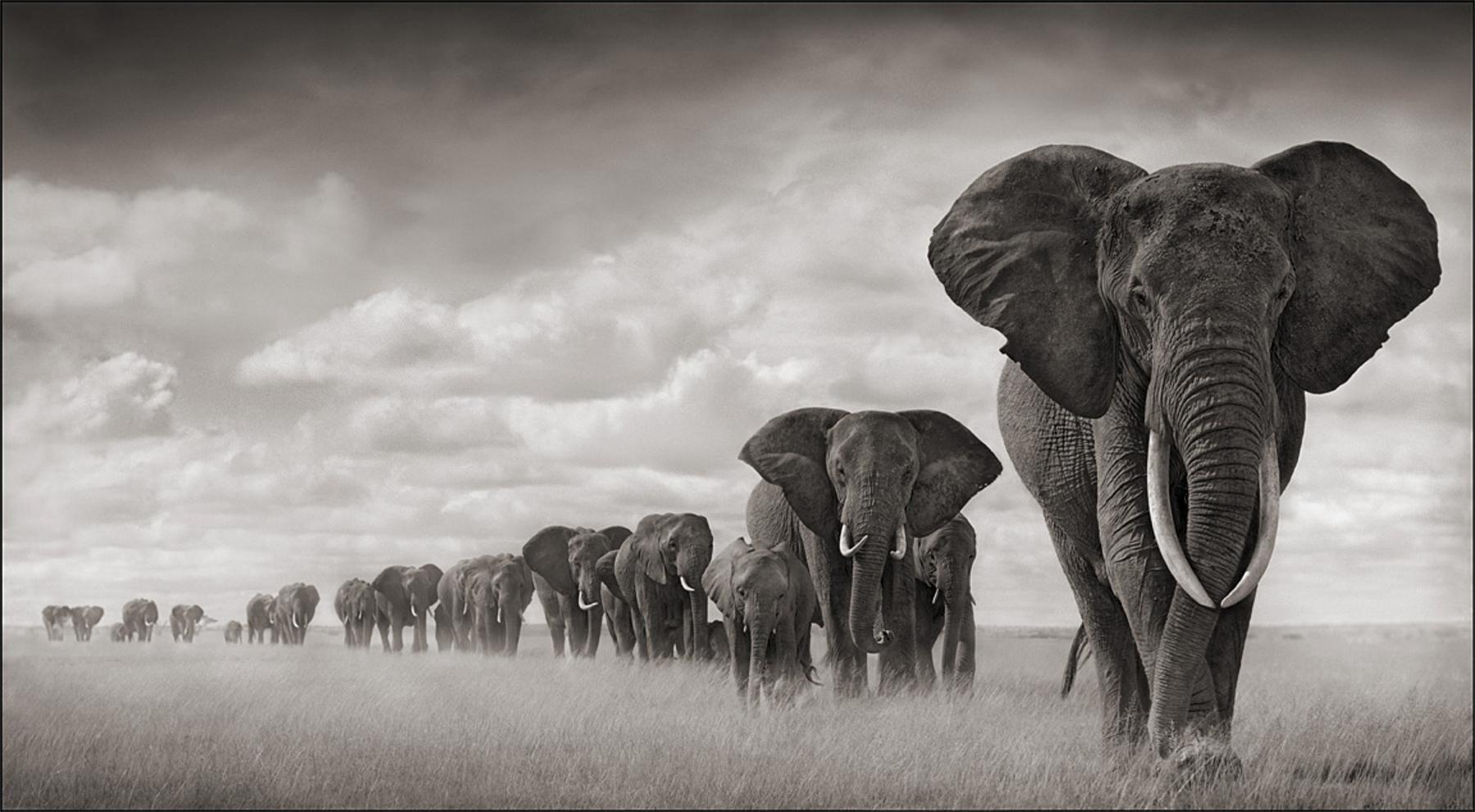 Elephants Walking Through Grass, Amboseli 2008.   Foto: Nick Brant. http://www.nickbrandt.com/portfolio.cfm?nK=8877=0=1
