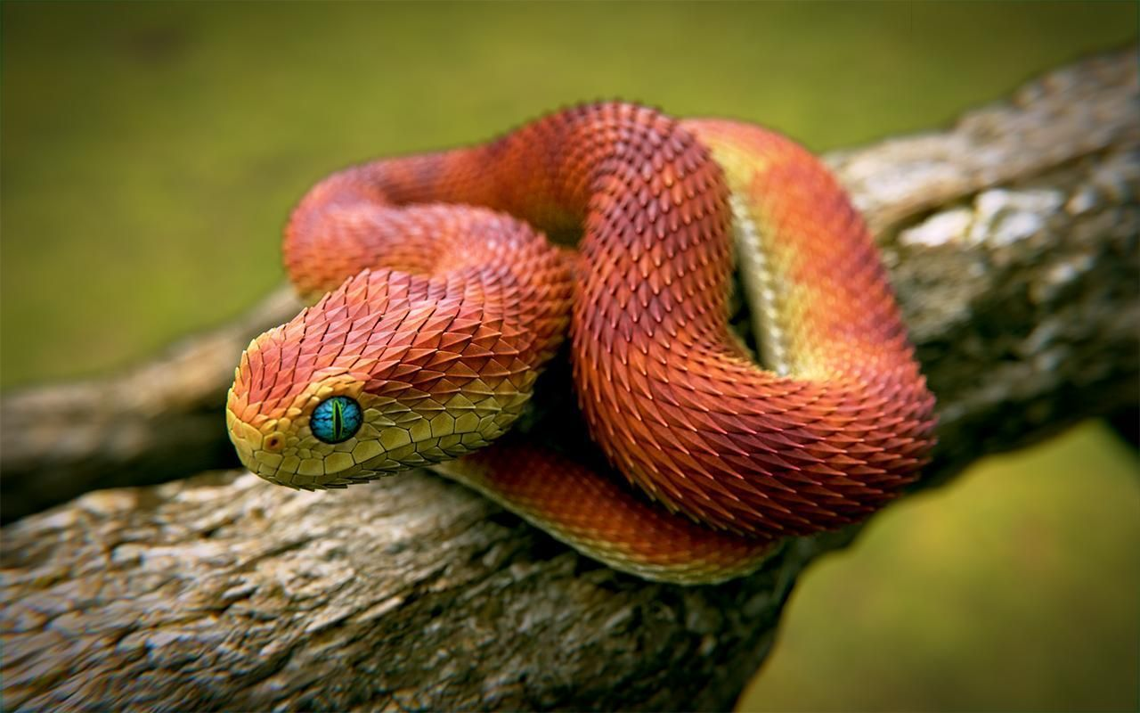 Inspiring 21 Indonesian Autumn Adder The Most Beautiful Snake In The World Https Meowlogy Com 2018 04 27 2 Beautiful Snakes African Bush Viper Pretty Snakes