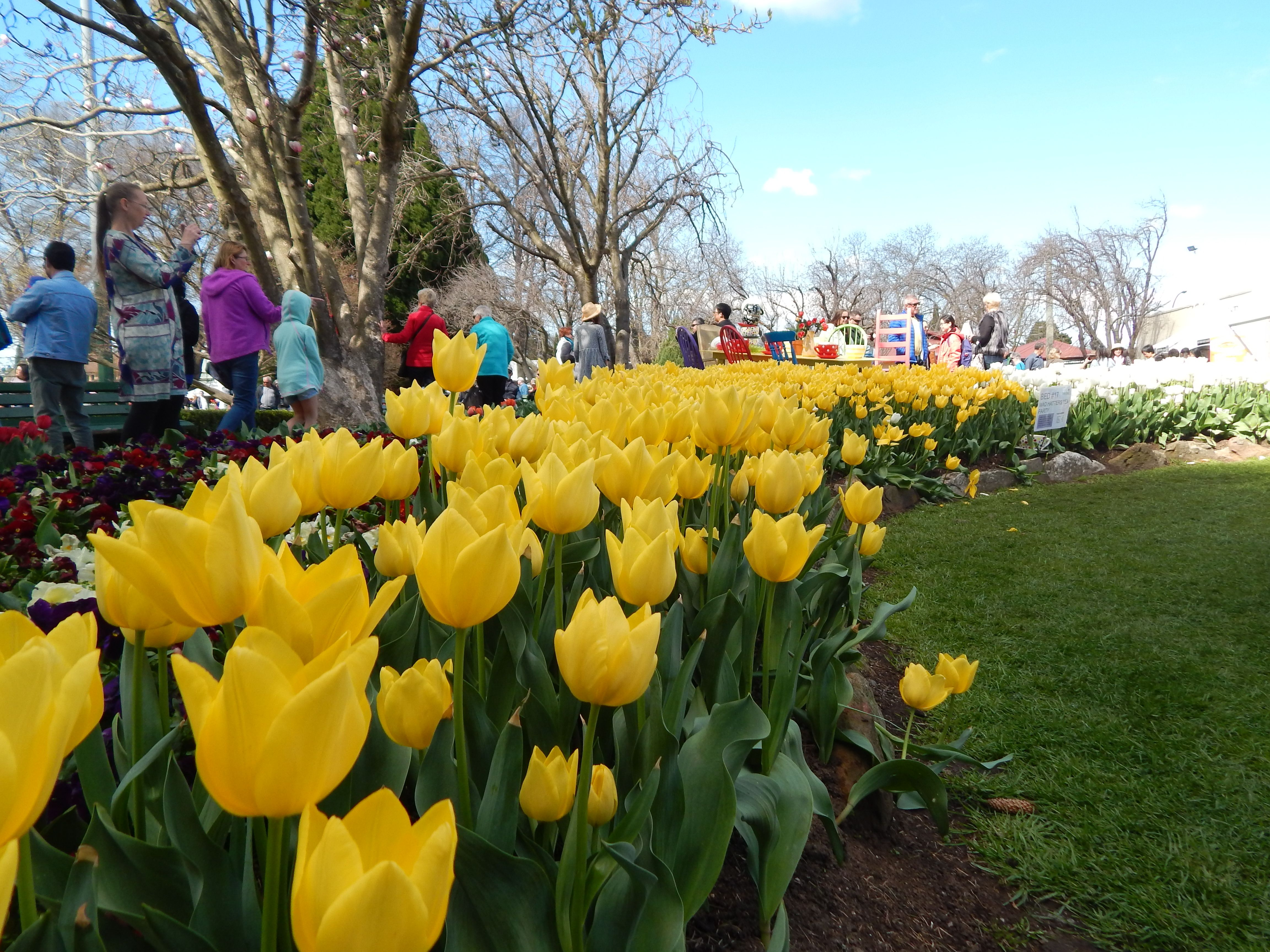 Beautiful Spring Flowers At 2016 Bowral Tulip Festival Nsw
