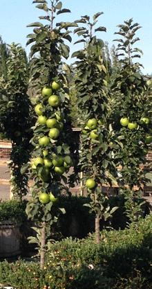 Green Columnar Apple Tree Fast Growing Trees Apple Tree Fruit Trees For Sale