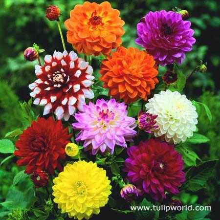Dahlia Garden Plant Pots Flower Seeds Bonsai Flower