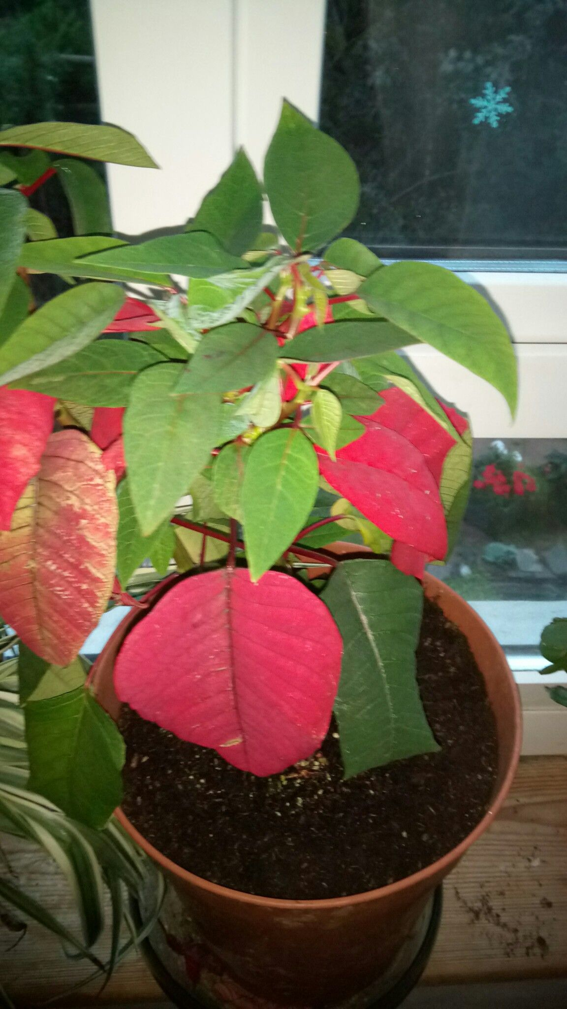 Poinsettia I Have Never Before Had One Survive After Christmas I Found This Dried Out 40p In Tesco Now After Christmas Holidays House Plants After Christmas