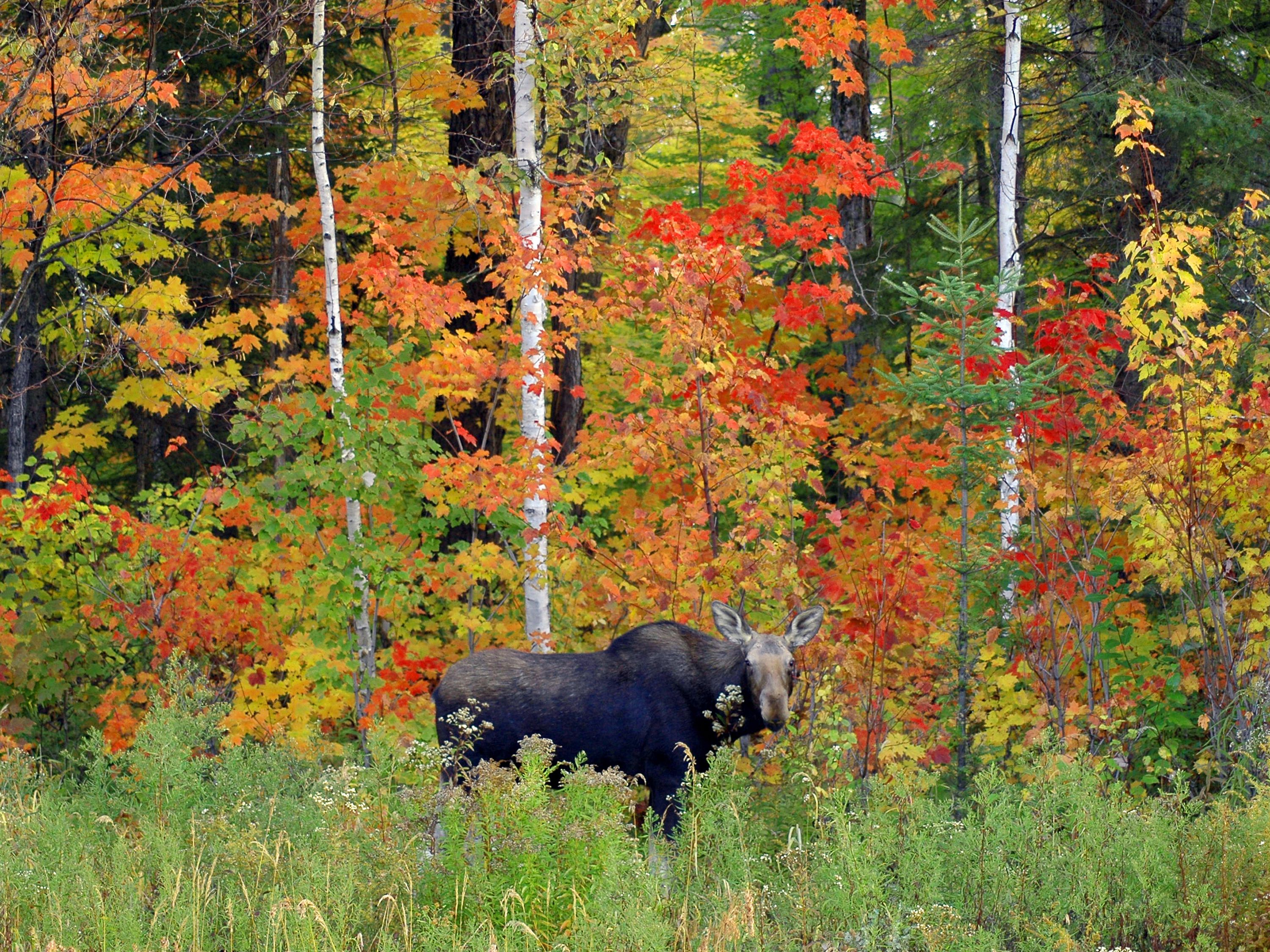 canadian moose colour in pdf