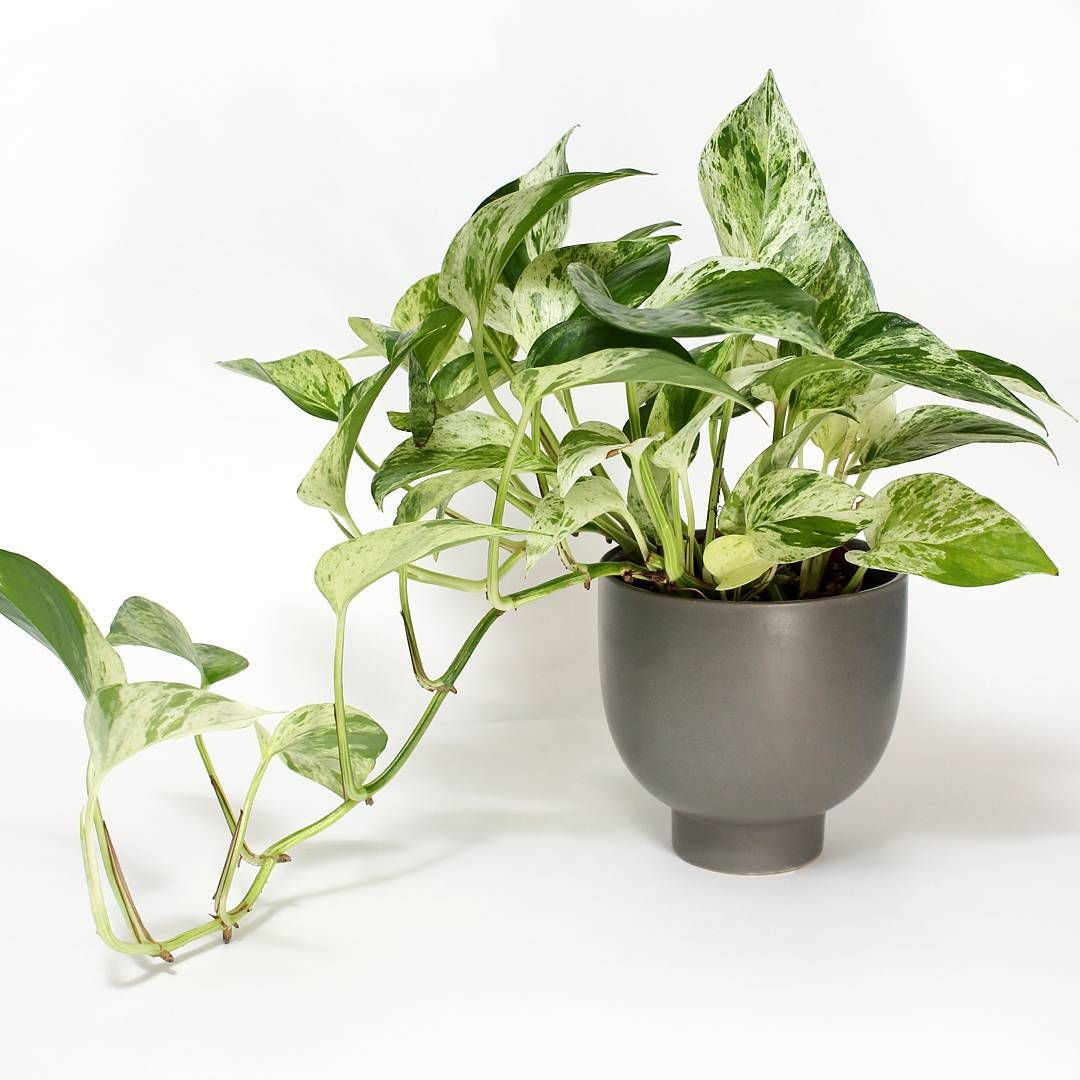 Pothos marble queen house plant journal pinterest for Maintenance of indoor plants