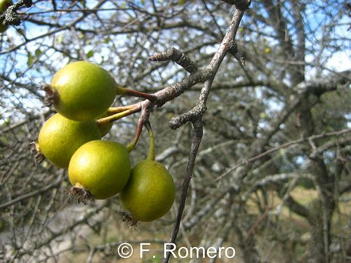 Frutos de la dehesa: Piruetano