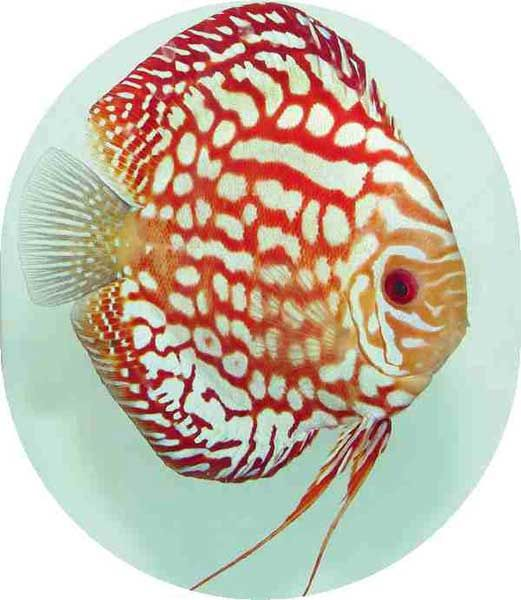 Discus fish image fire dragon discus fish for sale for Dragon fish for sale