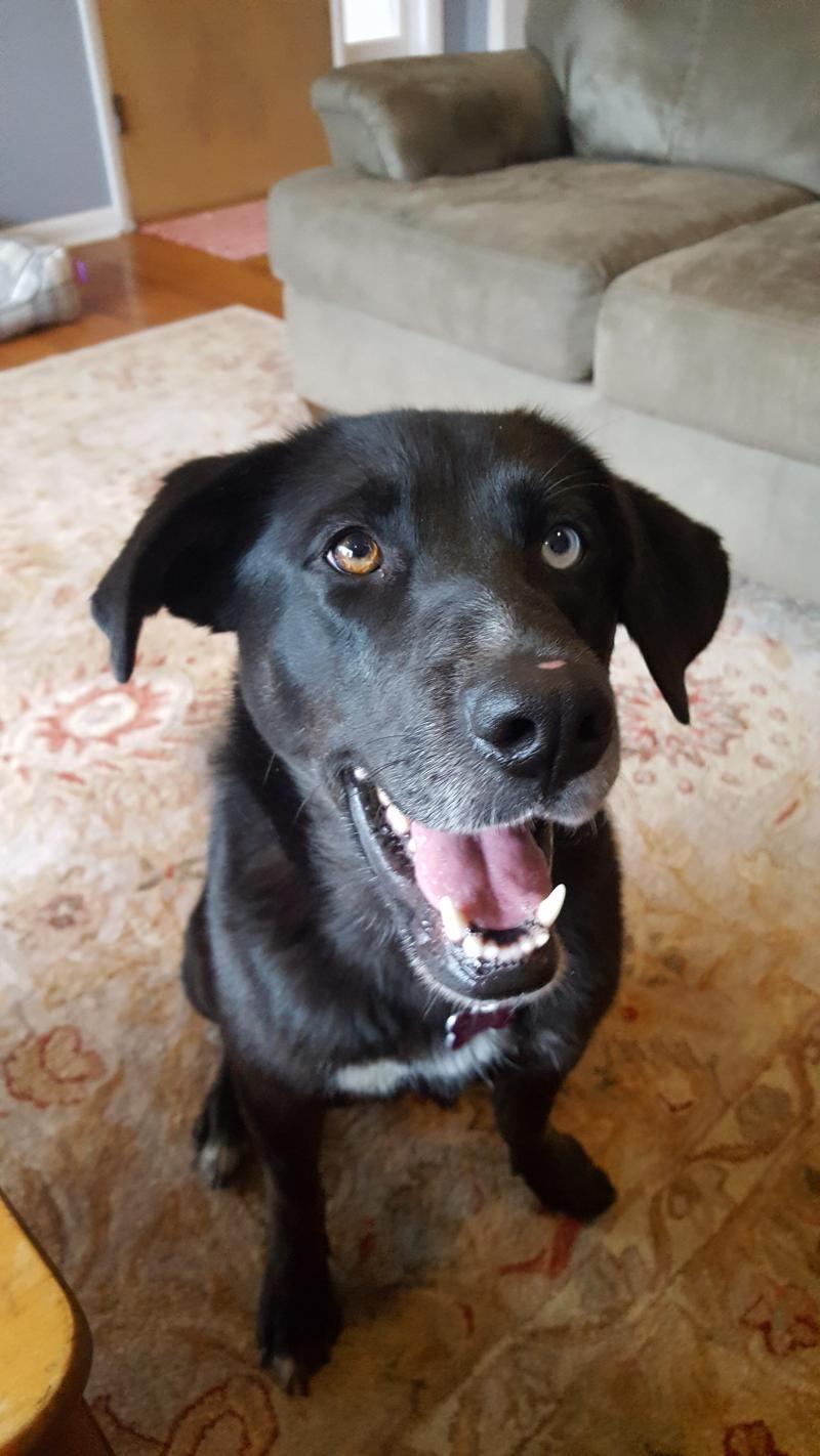 Adopt Grace on | Dogs | Dogs, Labrador retriever mix, Border
