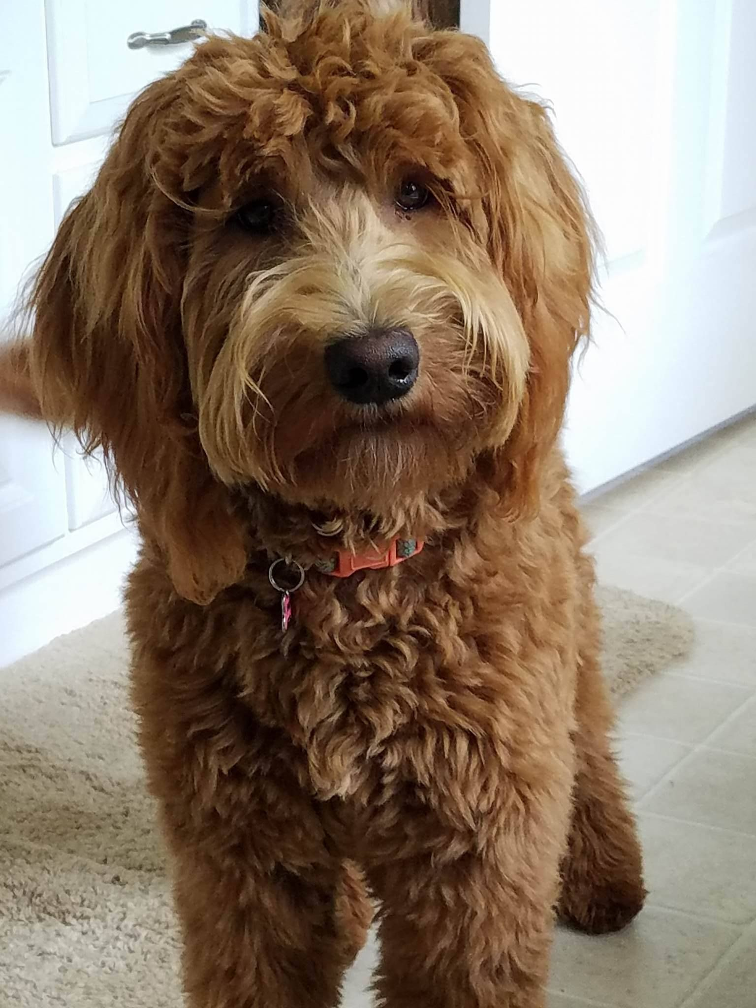 Red Goldendoodle Future Bellamom With Images Goldendoodle