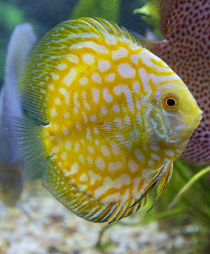 Pin By Cynthia Na On Cantiknya Ikan Ikan Hias Tropical Freshwater Fish Discus Fish Tropical Fish Aquarium