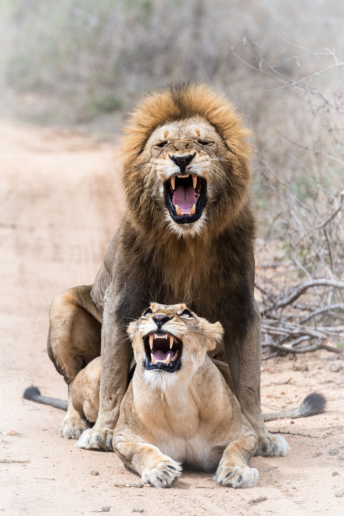 lion lovin not all ways the most sensual of acts lions