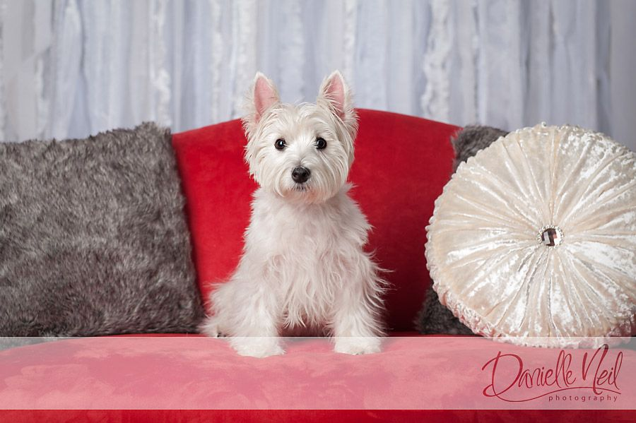 Westie Photo By Danielle Neil Photography Dog Photograph Dog Valentines West Highland White Terrier
