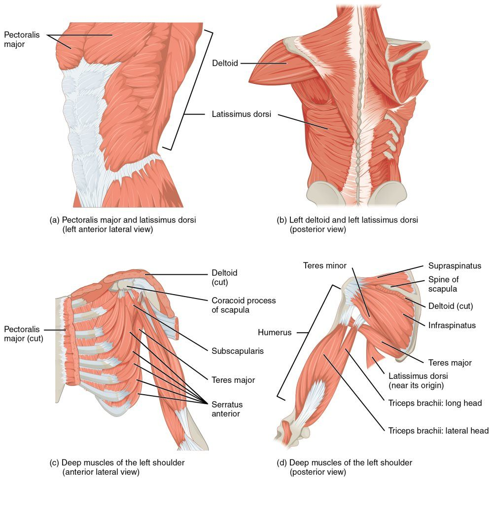1119_Muscles_that_Move_the_Humerus.jpg (1000×1064) | Lam sach ...