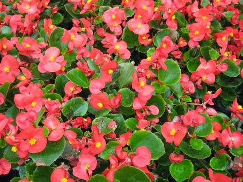 Flores de verano begonia garden red flowers pinterest - Plantas exteriores todo el ano ...