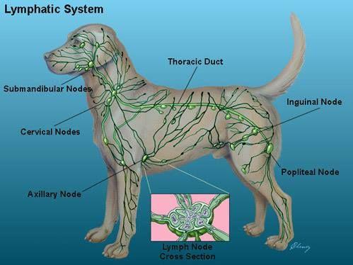 Dog anatomy lymph nodes
