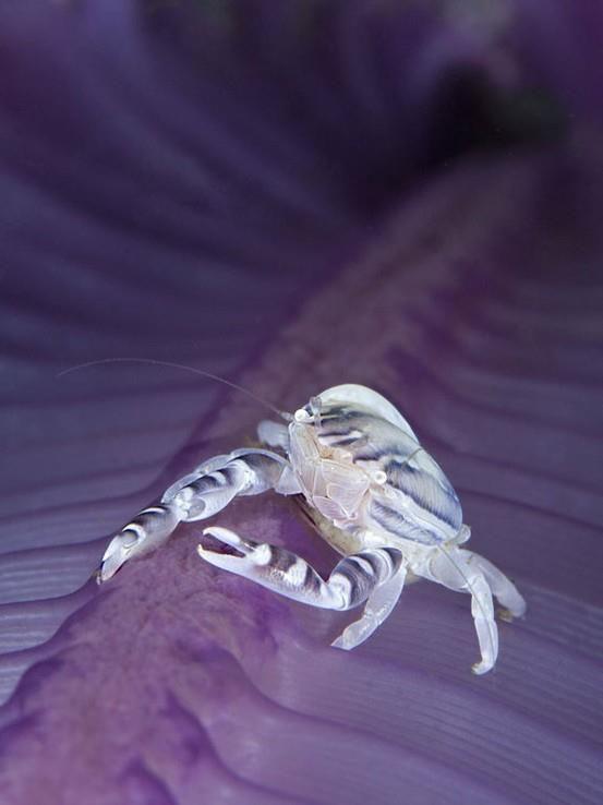 Porcelaine crab.   Photo by Davide Loprosti