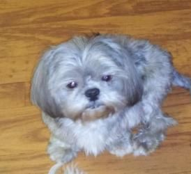 Peaches Is An Adoptable Shih Tzu Dog In Sunset La Please Contact