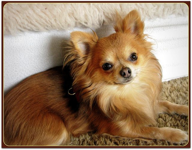 Small Dog Breeders Vancouver Island
