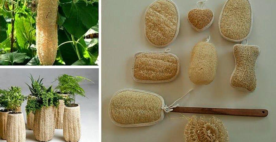 Creciendo Y Procesando Lufas O Esponja Vegetal Esponja Vegetal Vegetal Jardineria Y Plantas