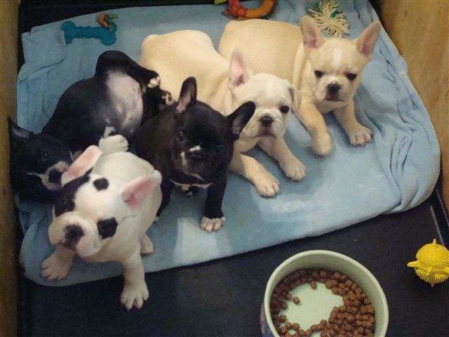 French Bulldog Puppies For Sale Zoe Fans Blog Cute French