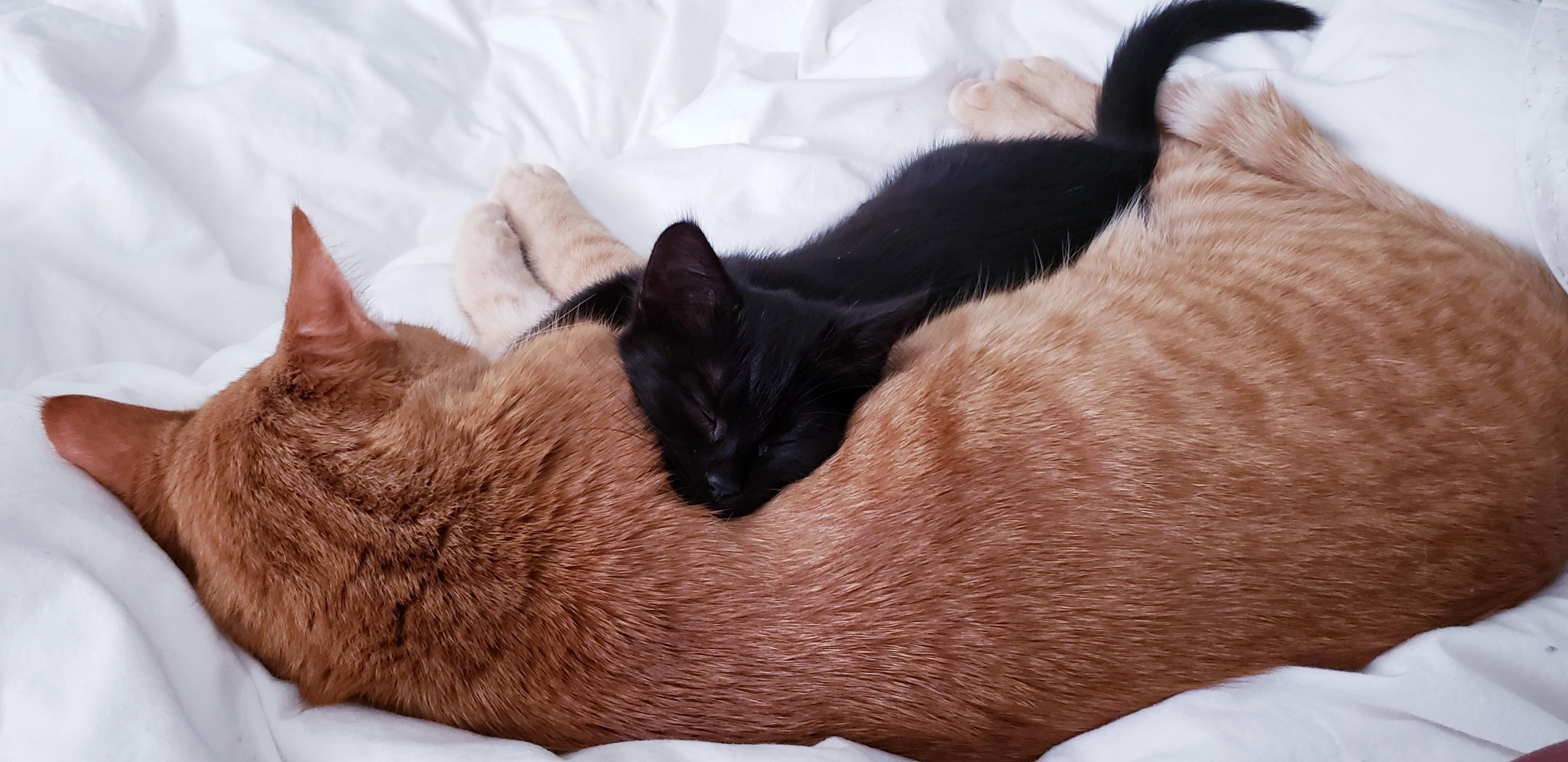 20 Pictures Of Little Kitten And Big Cat Are Finally Snuggle Buddies Aww Cute Adorable Cute Kitten Pics Little Kittens Kitten Pictures