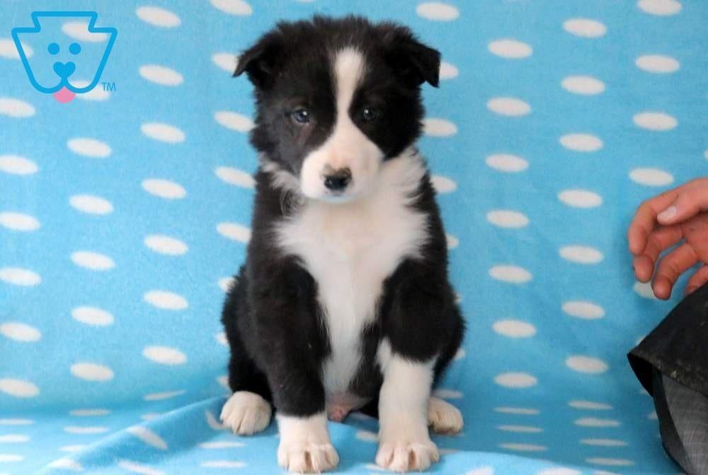 Scar Border Collie Puppy For Sale Keystone Puppies Collie Puppies For Sale Puppies Collie Puppies