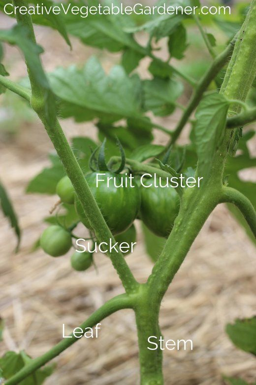 How To Prune Your Tomato Plants Like An Expert Tomato 400 x 300