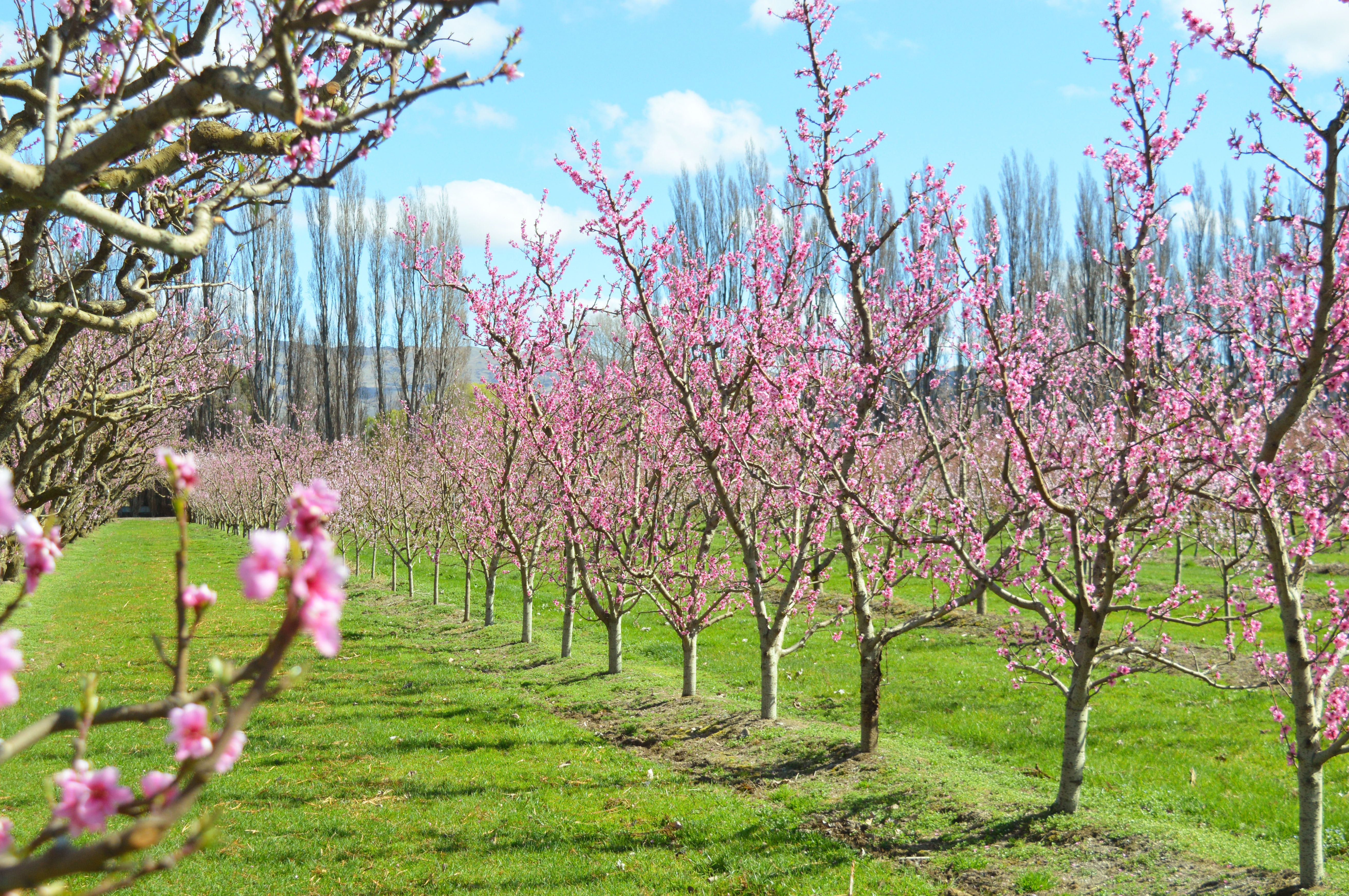 Cherries Trees In Spring Time Cromwell Spring Time Cherry Tree New Zealand
