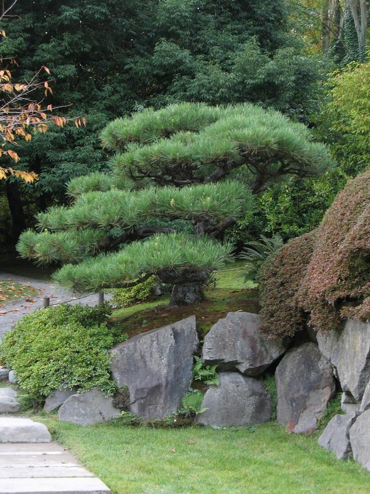 pine japanese black - usu tree
