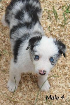 Litter Of 9 Border Collie Puppies For Sale In White Salmon Wa Adn 32678 On Puppyfinder Com Gender Ma Collie Puppies For Sale Puppies For Sale Collie Puppies