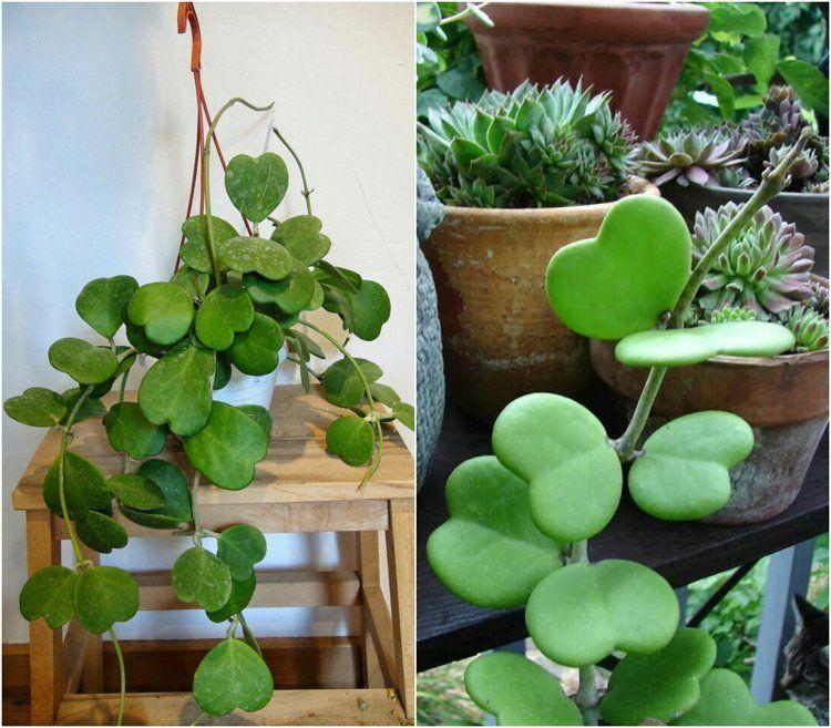 Hoya Kerrii Comment Entretenir Cette Petite Plante Sympa
