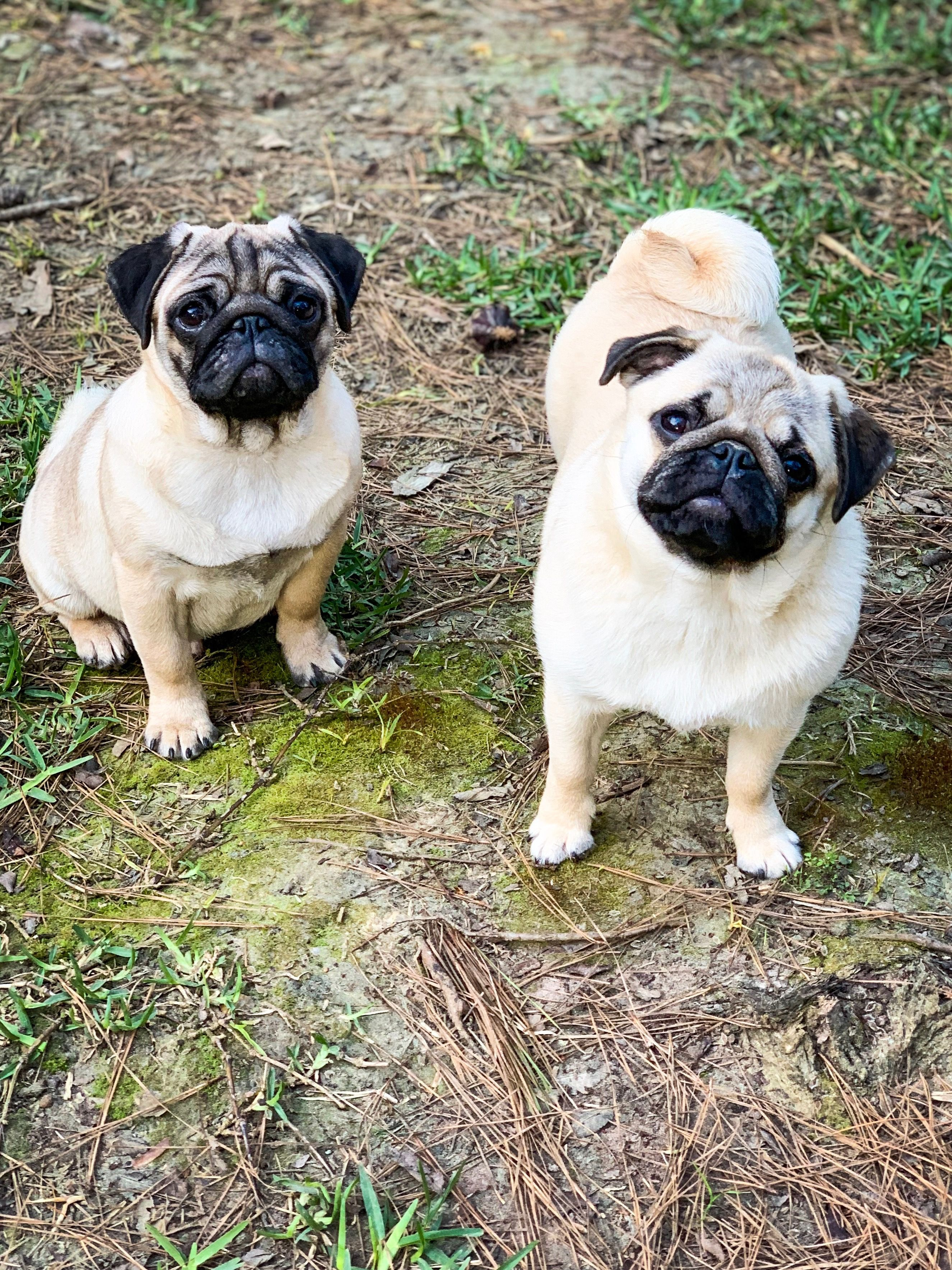 Best Pug Friends Forever Pugs Funny Pugs Dogs And Puppies