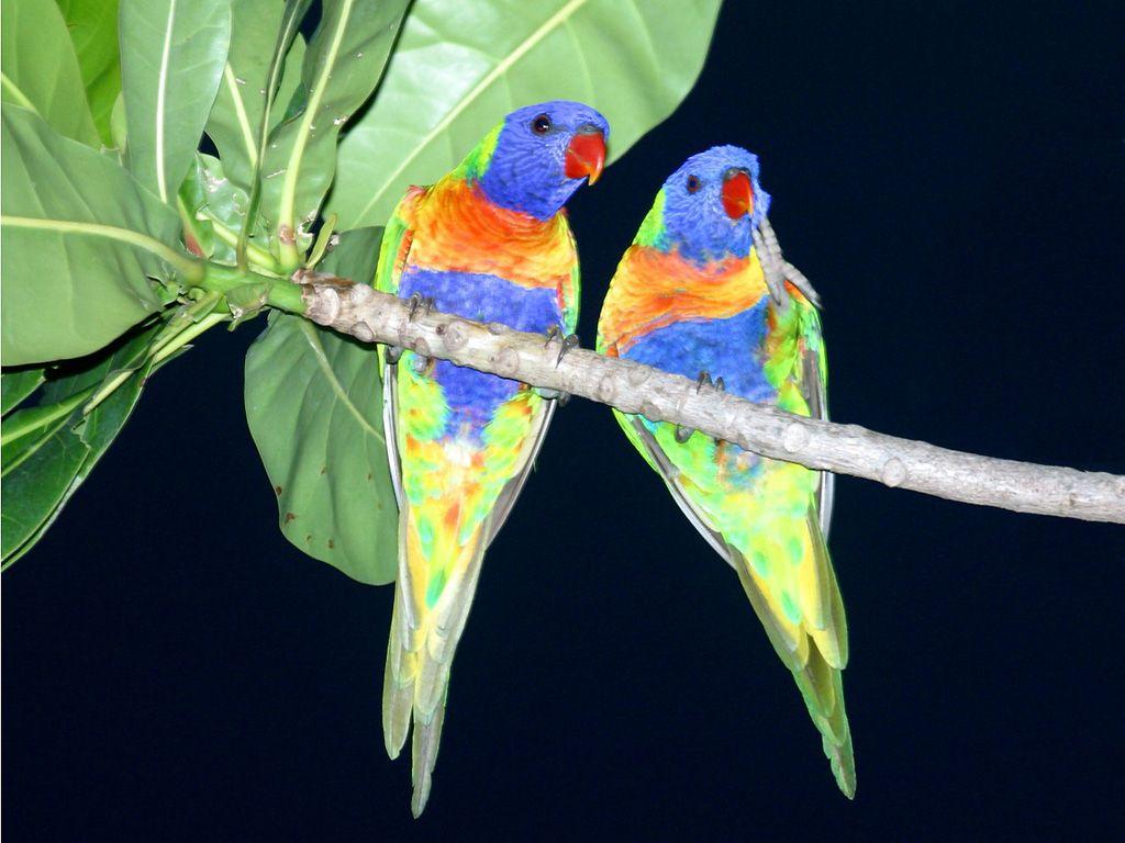 Download Wallpaper Love Parrot - d6610fce5281f61b75c27bdf5907aec8  Picture_999927.jpg