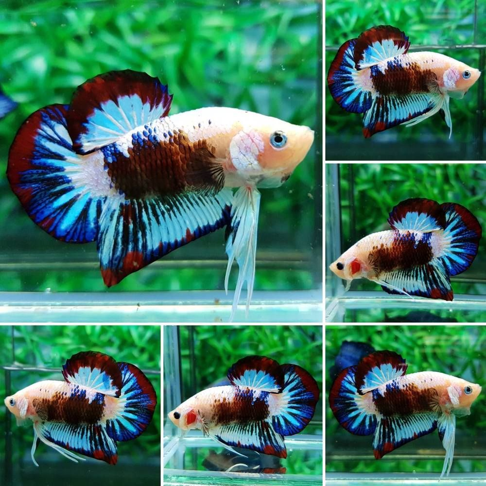Imported Plakat Live Betta Fish MALE Nice Color | Betta fish