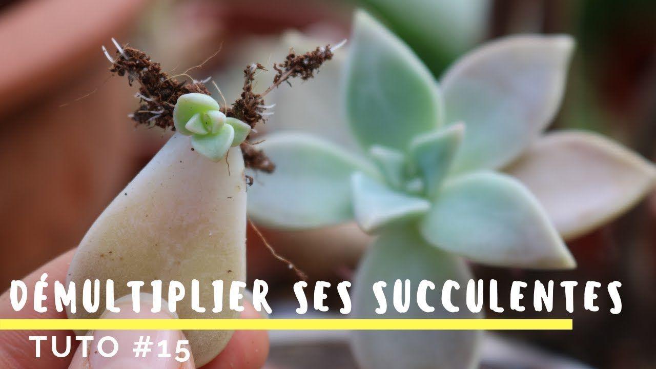Comment Bouturer Ses Plantes Grasses Tres Facile Tuto 15