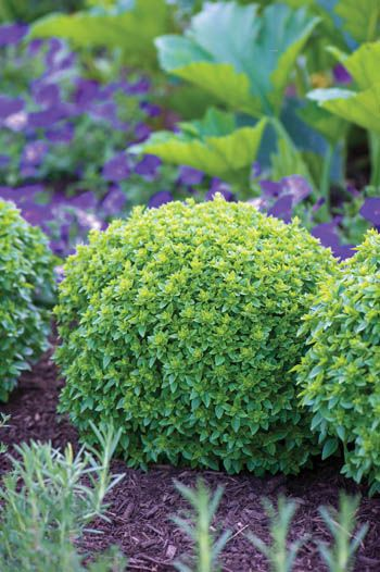 Boxwood Basil Tight Mounds Of Small Leaves That Resemble Boxwood Plants Make A Highly Ornamental Edging Kitchen Garden Boxwood Garden Herbs