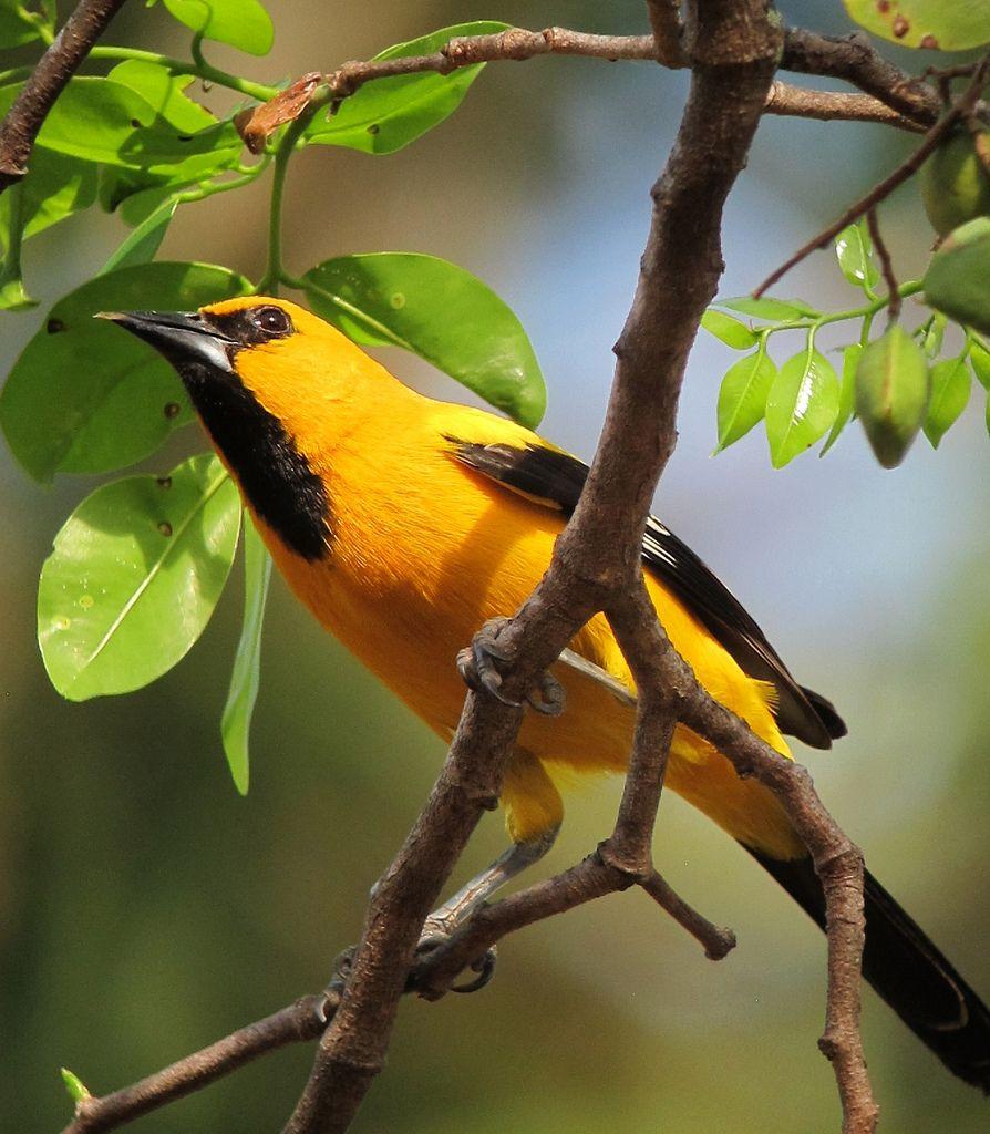 https://flic.kr/p/dWo3Cx   Icterus nigrogularis / Turpial amarillo / Yellow Oriole   Puerto Carreño, Vichada, Colombia