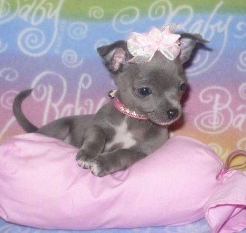 Pin By Kym Minton On Favorites Chihuahua Puppies For Sale