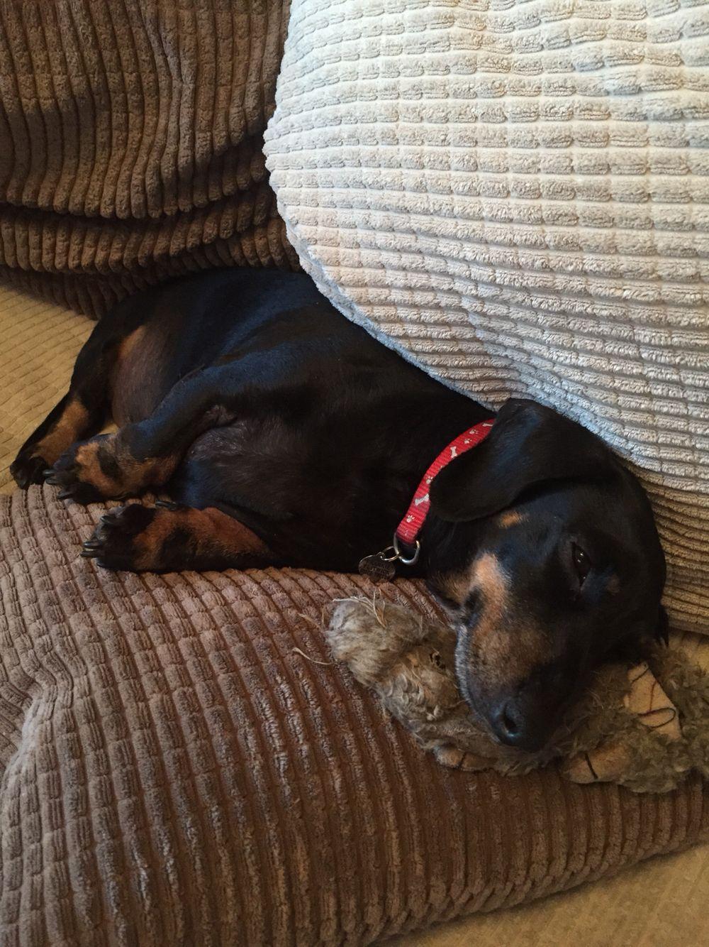 Cheeky Sunday Chilling Dachshund Chill Dogs