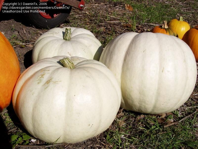 Batwing Mix Pumpkin Seeds Fresh Seed  FREE Shipping Pumpkin Seed
