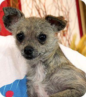 Wichita Falls, TX Chihuahua Mix. Meet Echo, a dog for
