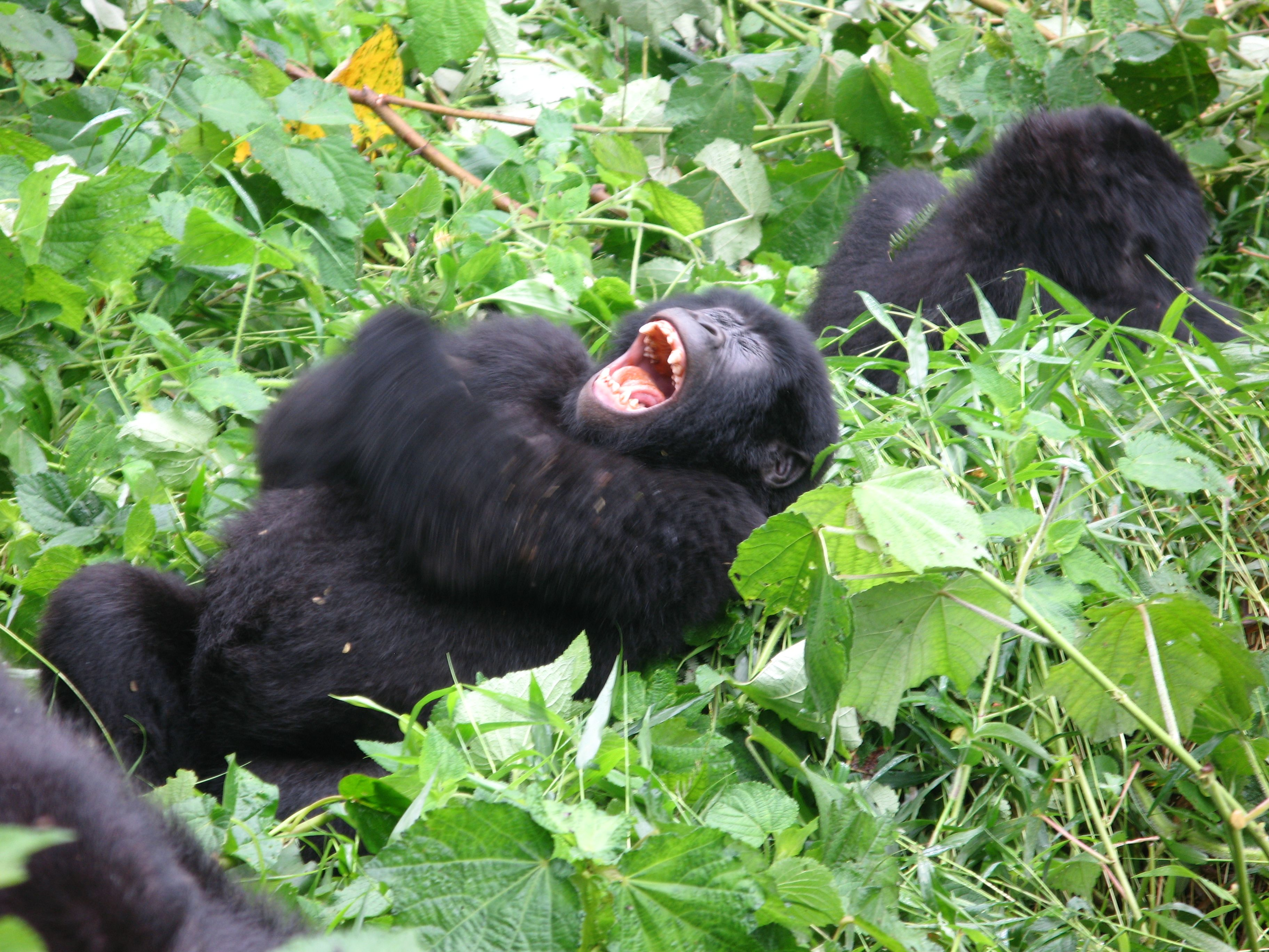 Mountain Gorilla....what a joke it must have been. | Made ...